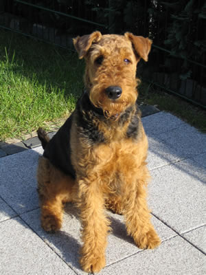 A Miracle.... Lili, my Airedale Terrier and Angels...